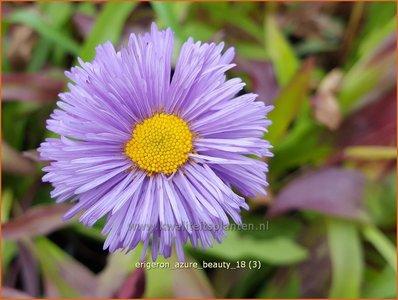 Erigeron 'Azure Beauty' | Fijnstraal | Feinstrahl