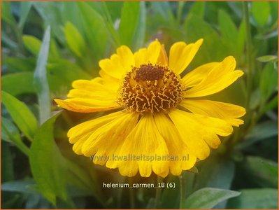 Helenium 'Carmen' | Zonnekruid | Sonnenbraut