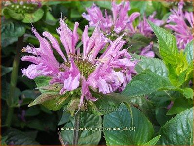 Monarda 'Pardon My Lavender' | Bergamotplant, Indianennetel | Indianernessel