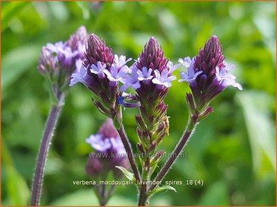 Verbena macdougalii 'Lavender Spires' | IJzerhard | Eisenkraut