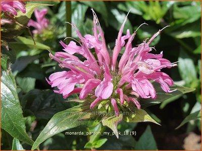Monarda 'Pardon My Pink'   Bergamotplant, Indianennetel   Indianernessel