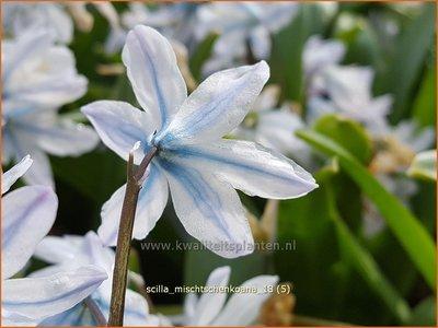 Scilla mischtschenkoana   Streephyacint, Witte sterhyacint   Kaukasischer Blaustern