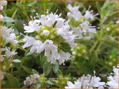 Thymus praecox 'Albiflorus'   Kruiptijm, Tijm   Frühblühender Thymian