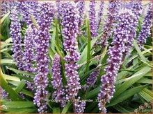Liriope muscari 'Lilac Wonder'   Leliegras
