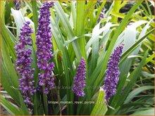Liriope muscari 'Royal Purple'   Leliegras