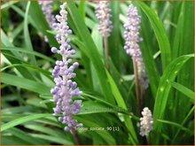 Liriope spicata   Leliegras