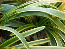 Liriope muscari 'Gold Banded'   Leliegras