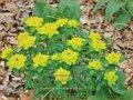 Euphorbia polychroma 'Senior' | Kleurige wolfsmelk, Wolfsmelk | Gold-Wolfsmilch