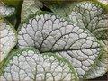 Brunnera macrophylla 'Sea Heart' | Kaukasische vergeet-mij-nietje