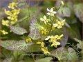 Epimedium perralchicum 'Frohnleiten' | Elfenbloem