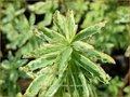 Euphorbia polychroma 'Variegata' | Kleurige wolfsmelk, Wolfsmelk | Gold-Wolfsmilch