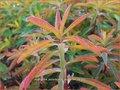 Euphorbia polychroma 'Purpurea' | Kleurige wolfsmelk, Wolfsmelk | Gold-Wolfsmilch